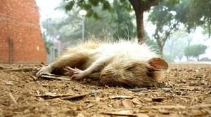 Tote Ratte, JNU, Delhi, Februar 2010