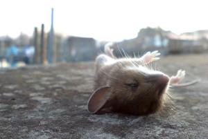 Tote Maus, Konstanz, Hafen, Februar 2006